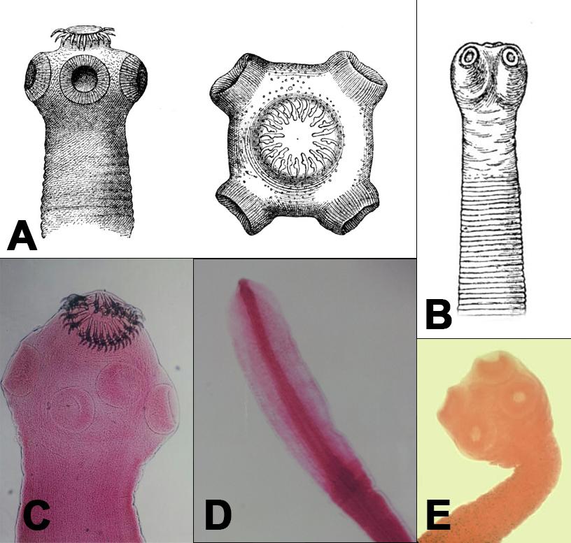 scolex tapeworm