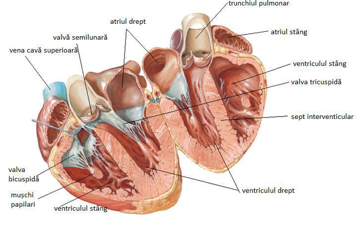 Aparatul cardiovascular