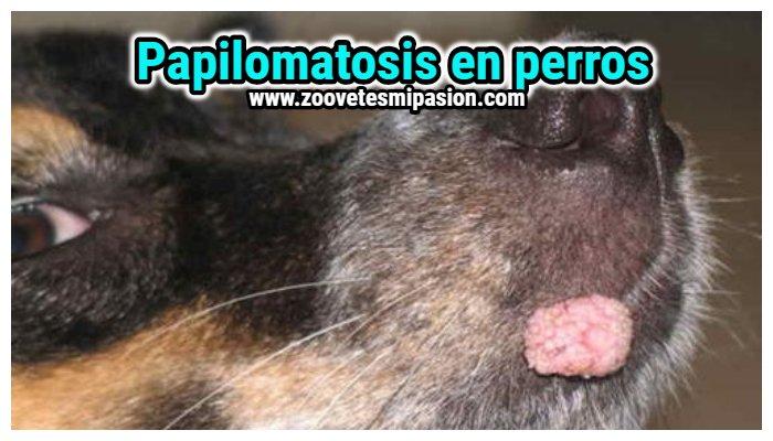 Bebe papillomavirus Tratamiento para papilomatosis equina