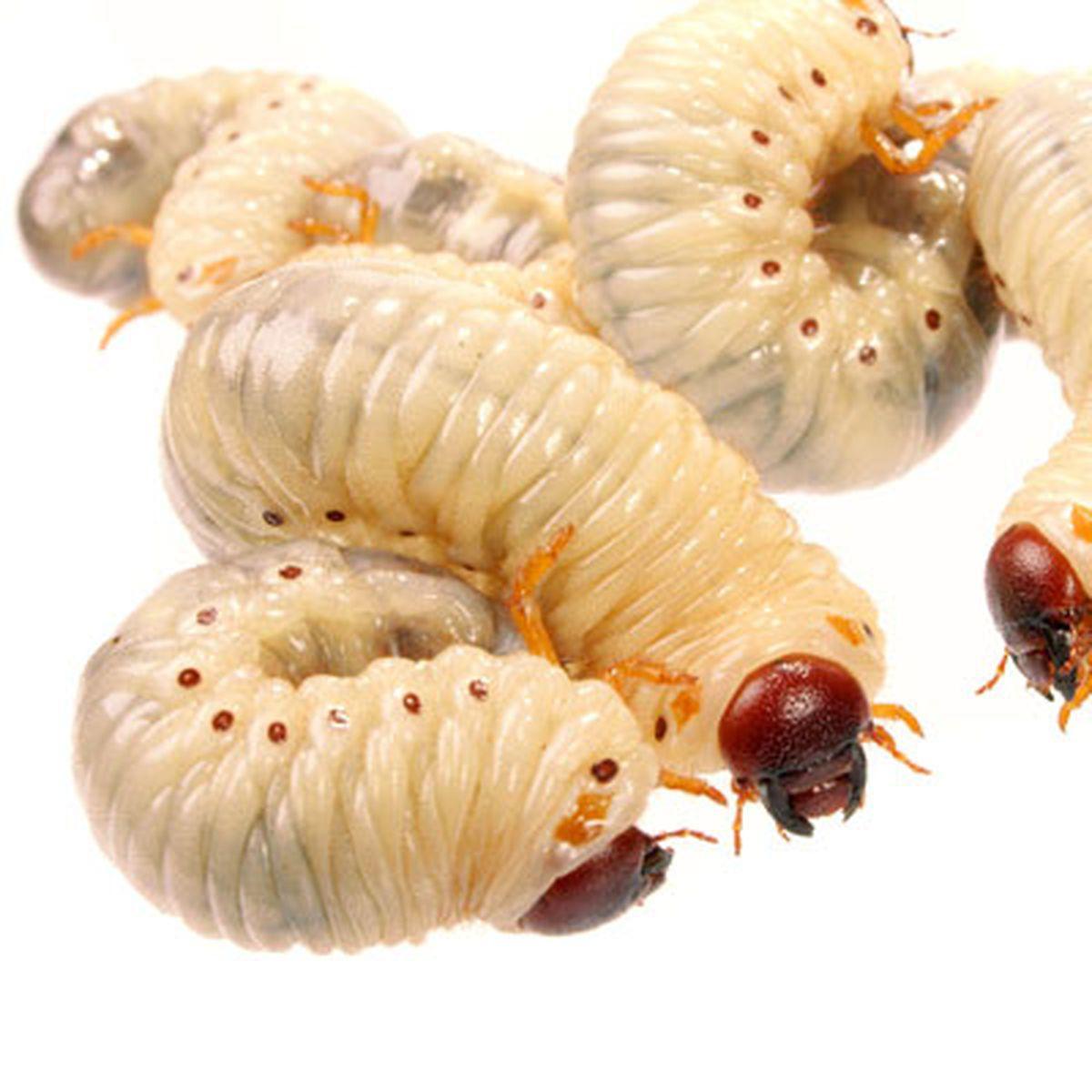 vierme cu copii parazitii beraria h