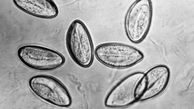 enterobius eggs