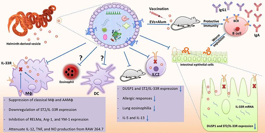 helminths and immune modulation)