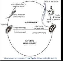 Pinworm helminths medicine