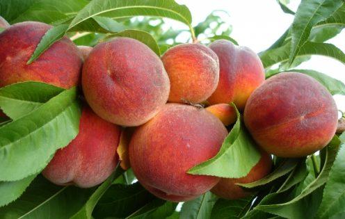 nectarine și necroză
