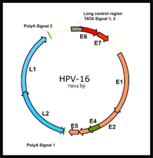 Human papillomavirus viral genome - triplus.ro