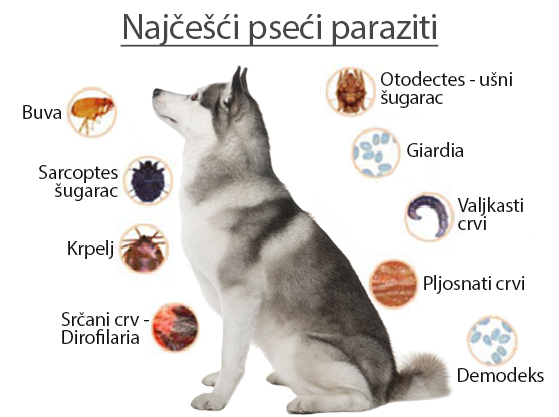 paraziti kod psa simptomi)