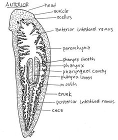 Helminthiasis tapeworm. Helminths helminthiases Unspecified helminth infection
