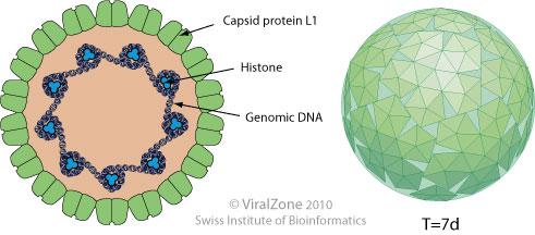 Human papillomavirus in greek. Human papillomavirus causative agent