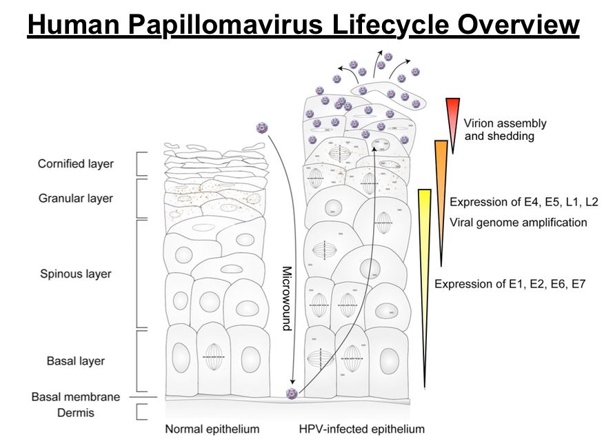 hpv life cycle diagram