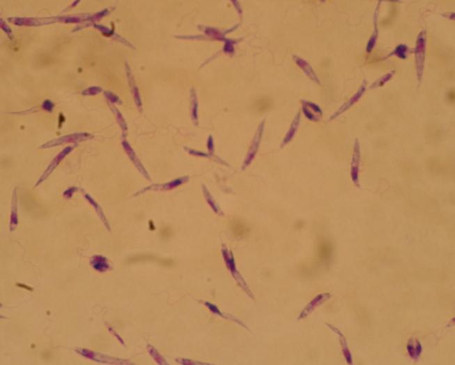 paraziti trypanosomatide