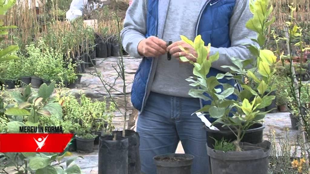 neagră plantară imensă)
