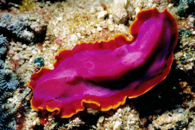 acoelomează phylum platyhelminthes