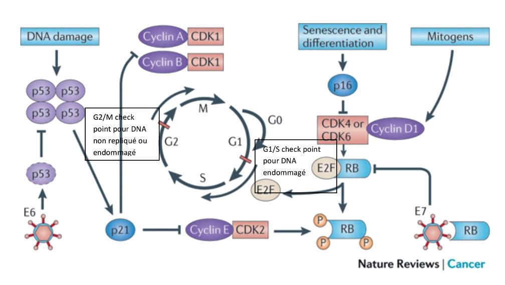 papillomavirus humains genitaux potentiellement oncogenes condiloame și gardnereloză