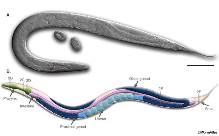 Hermafroditele sunt bullworm)