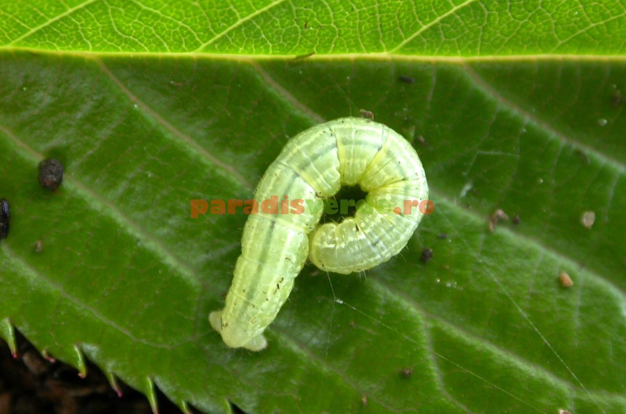 larva de vierme inimii simptome de infecție cu vierme