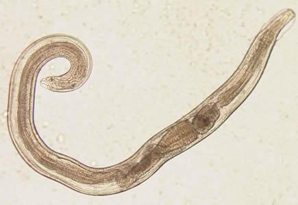 enterobius vermicularis terapia vierme de mistreț