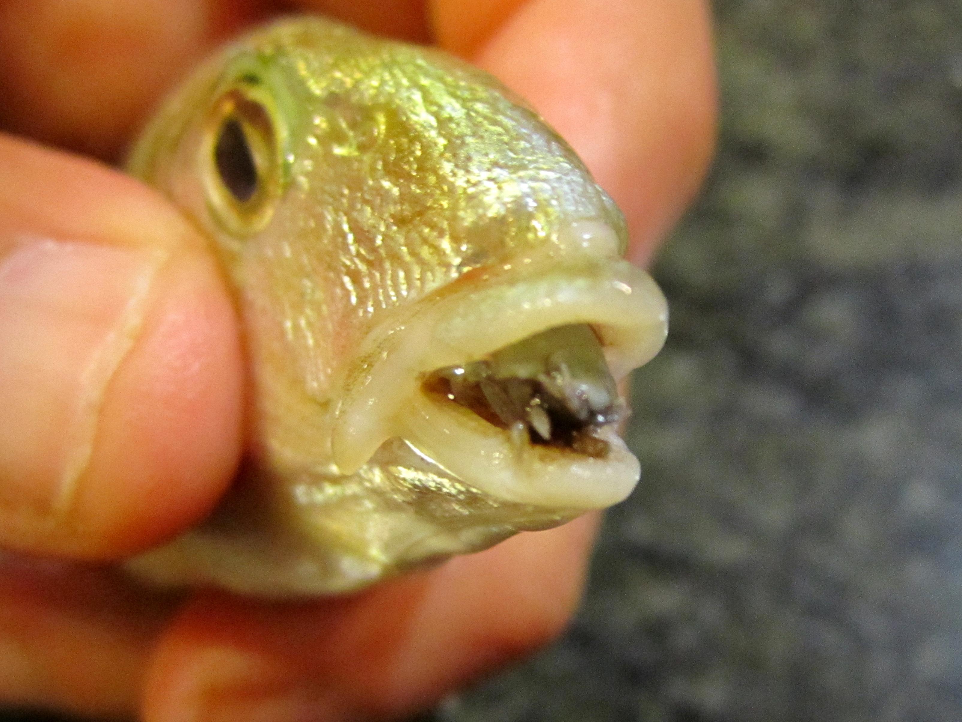 paraziti z ryb