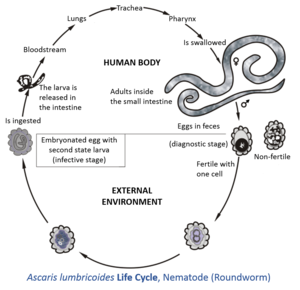 ciclul de dezvoltare al nematodelor