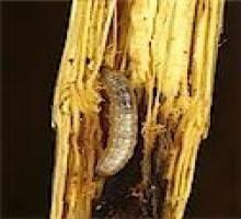 viermele este ofilit tratamentul ovulului și paraziților