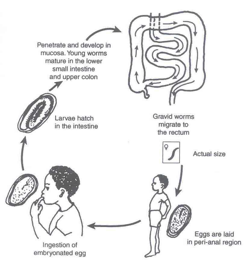 enterobius vermicularis the pinworm))