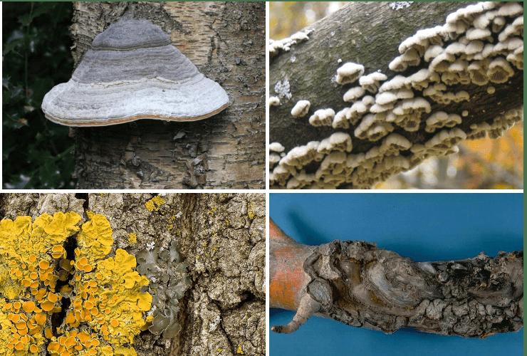 exemple de ciuperci parazite