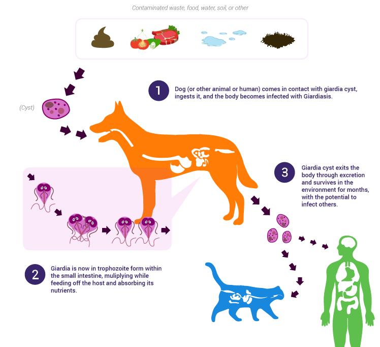 giardia hond mens)