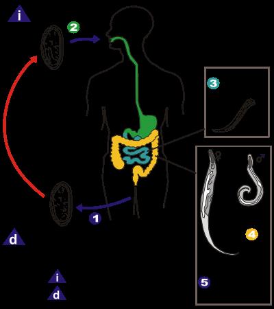 oxyures vermicularis traitement)