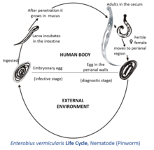 Enterobiasis definition. Sinonimele și antonimele enterobiasis în dicționarul de sinonime Engleză