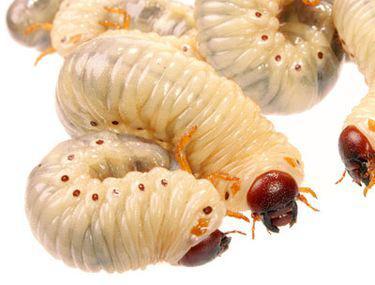Tipuri de viermi și helminți