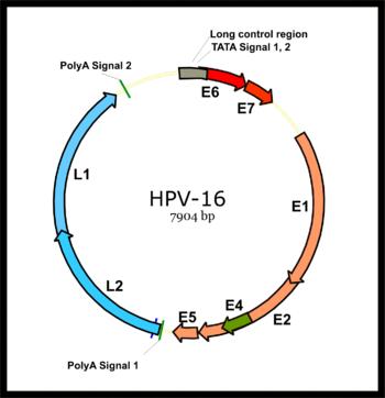 Papillomavirus genome structure, Video CSID