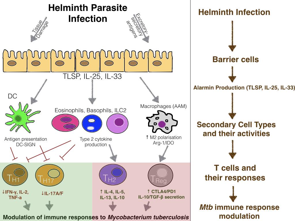 helminths and immune modulation