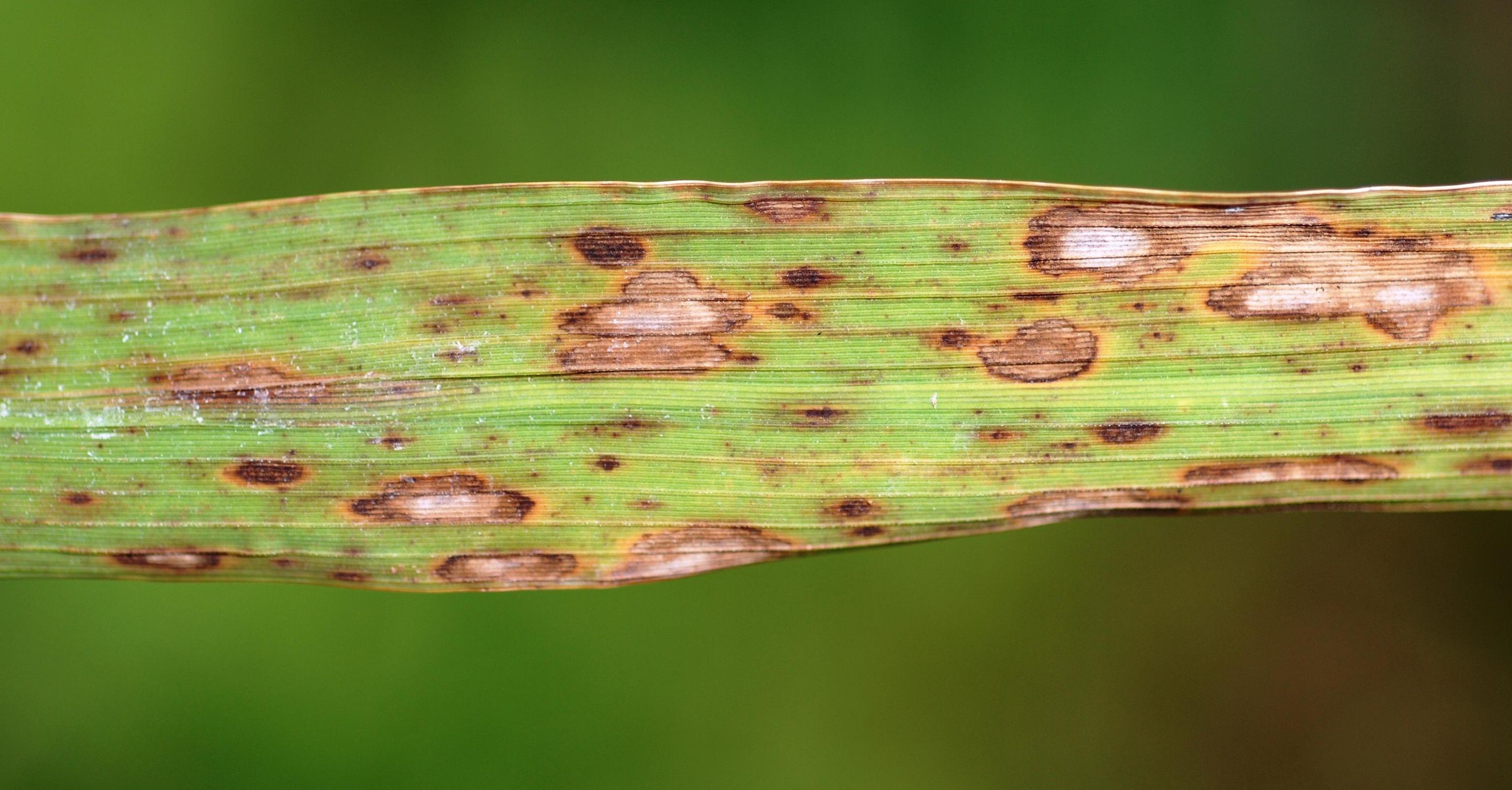 Conidia helminthosporium oryzae