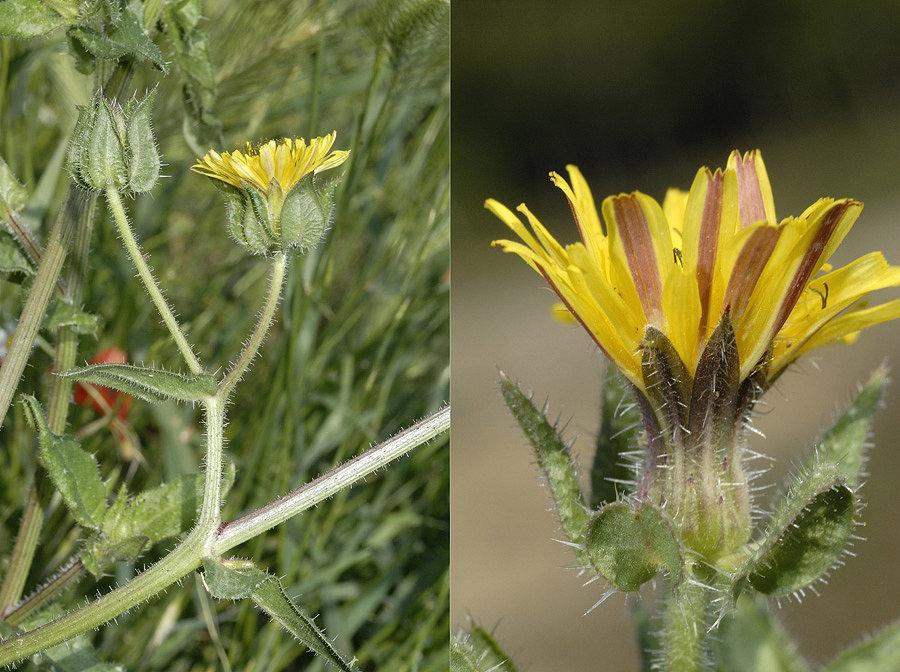 helminthotheca aculeata)