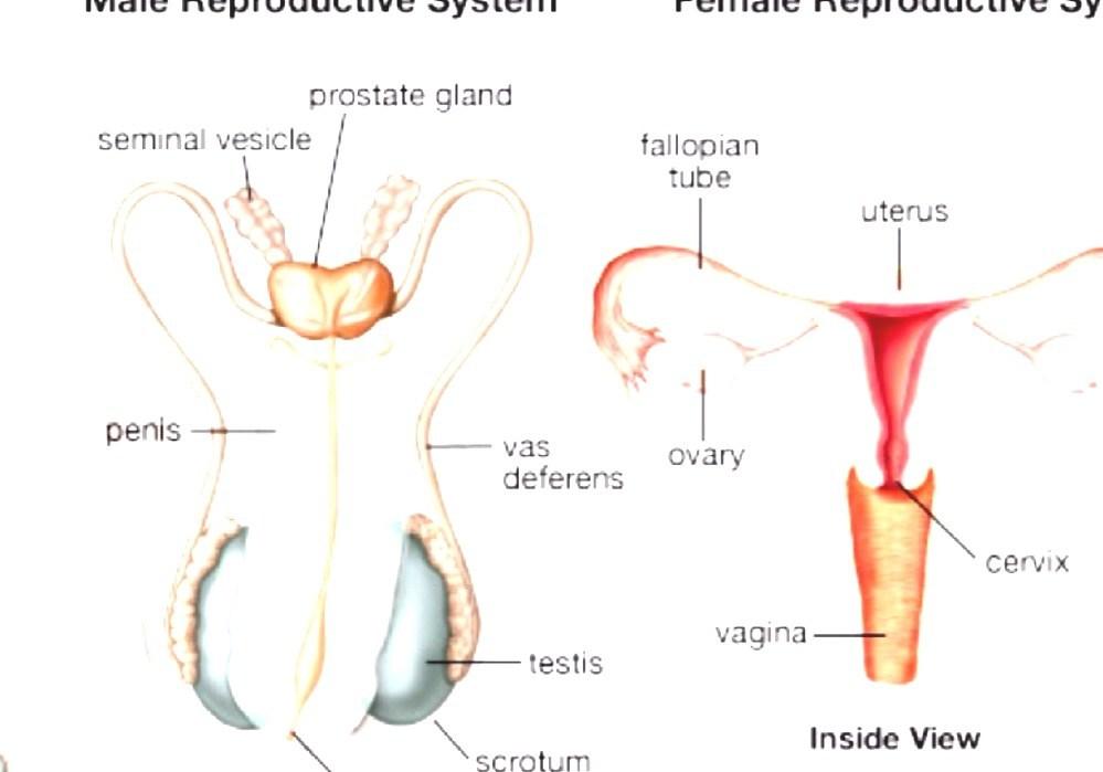 hermafrodit nematod uman