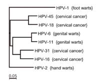hpv human strains)