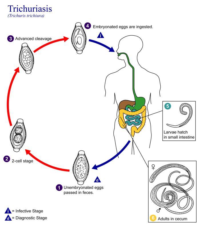 Life cycle of enterobius vermicularis with diagram - Informatica Medicala: Curs Iv