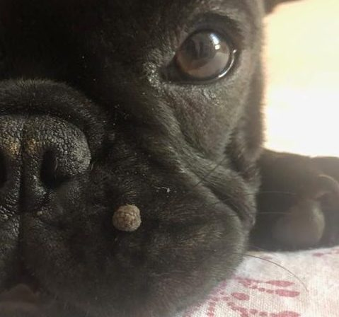 Papilloma vescicale nel cane, Dictionar italiana-romana, Papilloma virus nel cane