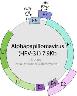 Papillomavirus genome structure - Papillomavirus genome structure