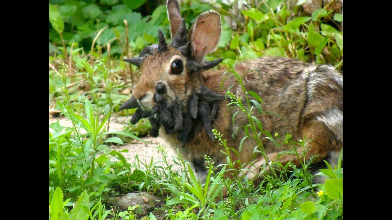 papillomavirus konijn manipularea féreghajto