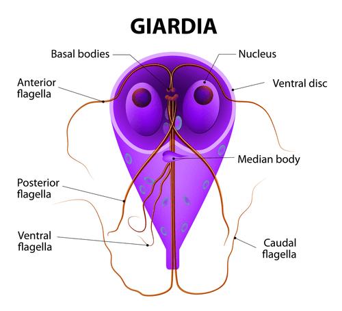 parasiet giardia bebe efectele infecției cu vierme