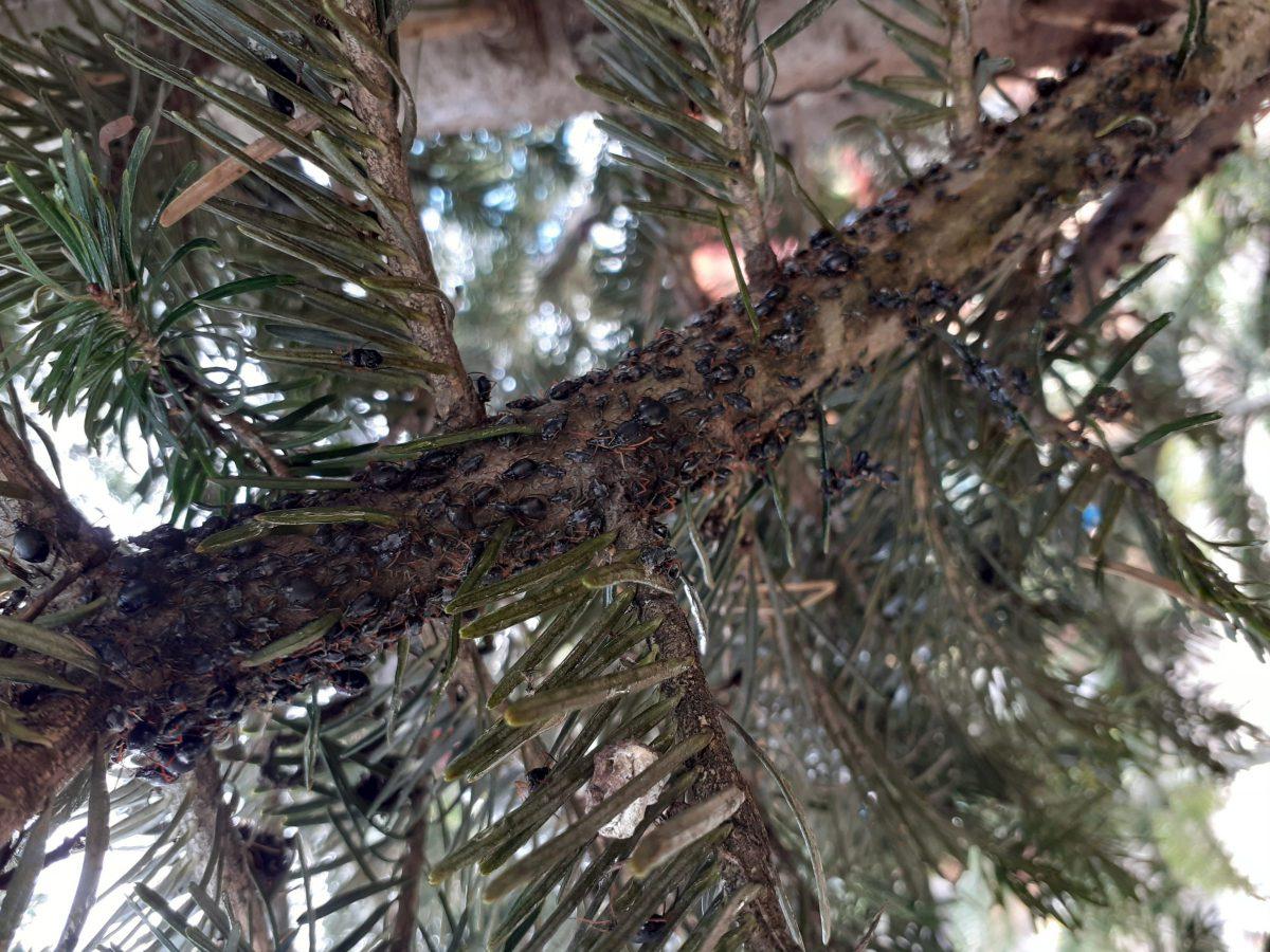paraziti arbori quassia