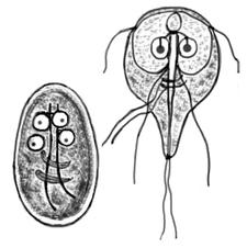 Giardioza: cauze, simptome si tratament