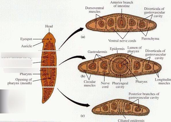 Viermii plaţi (Platyhelminthes) | Itinerarii pontice Anatomie platyhelminthes