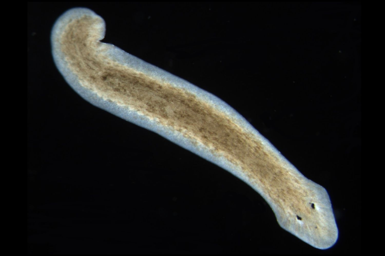 Platyhelminthes cu strat de germeni