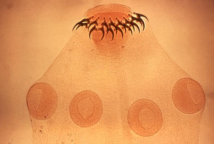 rostellum platyhelminthes)