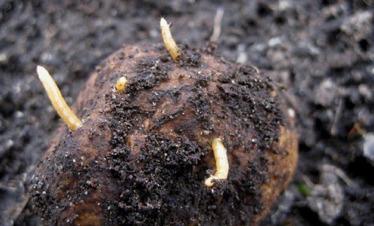 un vierme de pământ pentru un copil