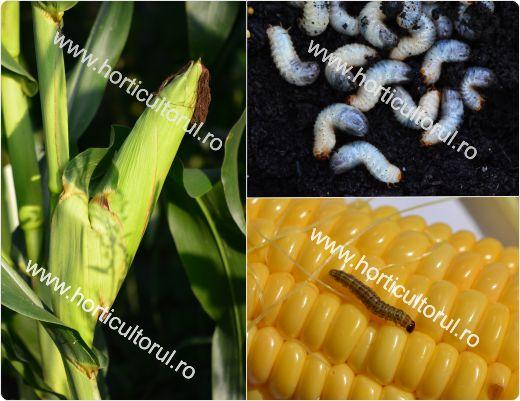 Vierme la grau. Daunatorii cerealelor paioase: recunoastere si combatere