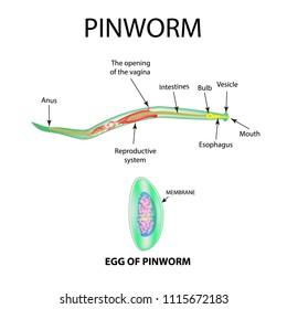 Viermi de tip pinworm