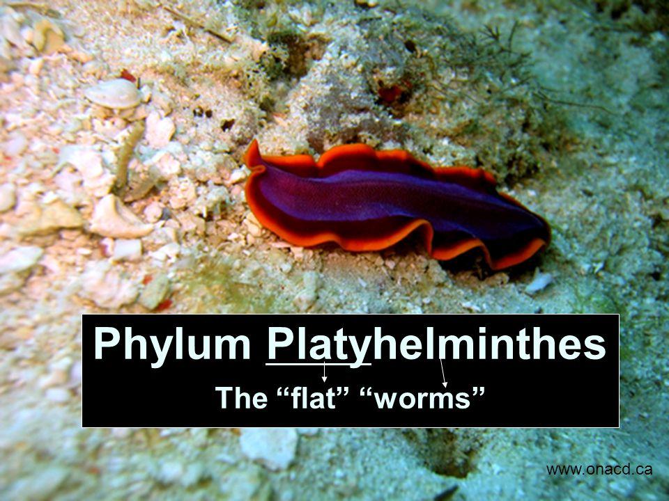 însemnând platyhelminthes phylum