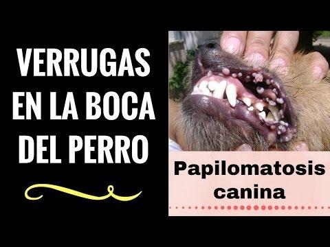 Papiloma virus canino tratamiento Papiloma virus en perros tratamiento
